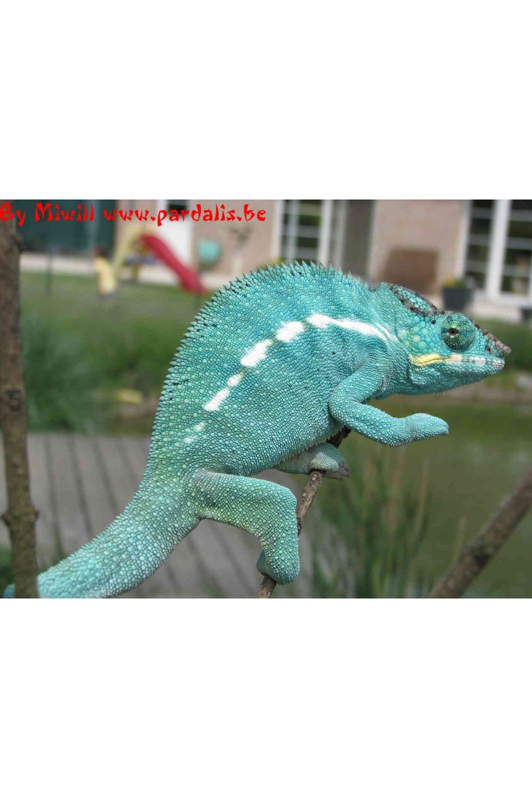 Furcifer Pardalis Nosy Be True Blue